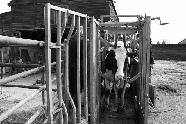 Hoof Trimmer, Bosley Mill Farm, Gloucestershire.jpg