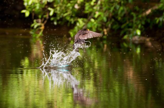 Kingfisher dives to evade blackbird