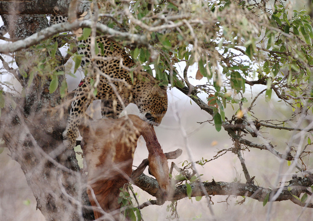 Leopard retrieving stashed impala kill