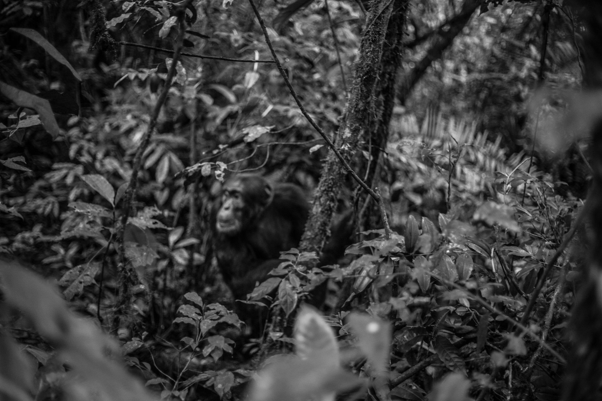 Chimp_Forest_Uganda-IMG_1265-untitled.jpg