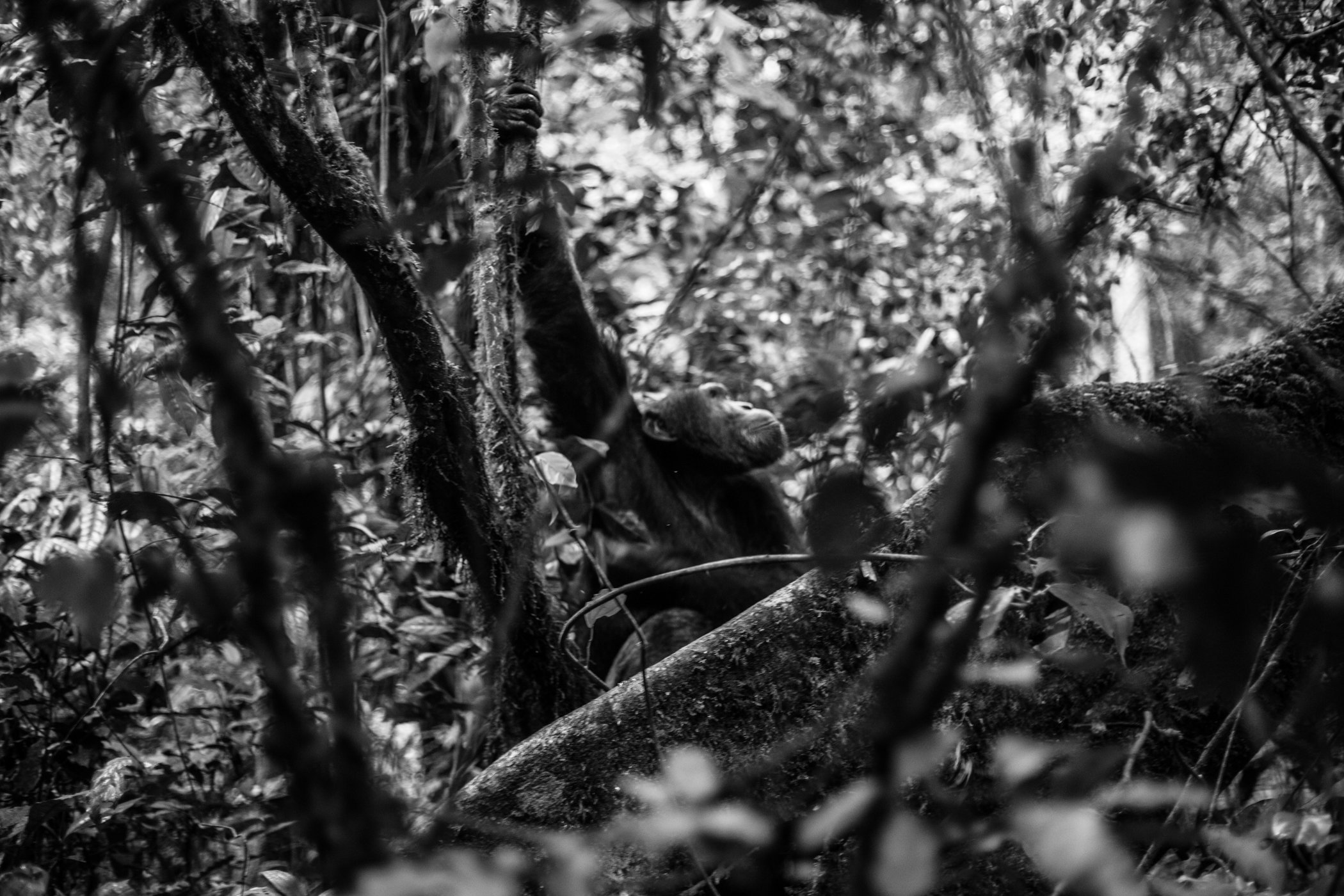 Chimp_Forest_Uganda-IMG_1268-untitled.jpg