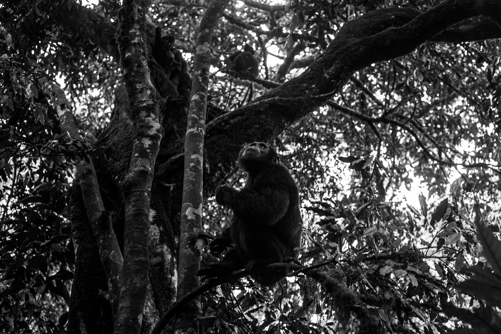 Chimp_Forest_Uganda-IMG_1271-untitled.jpg