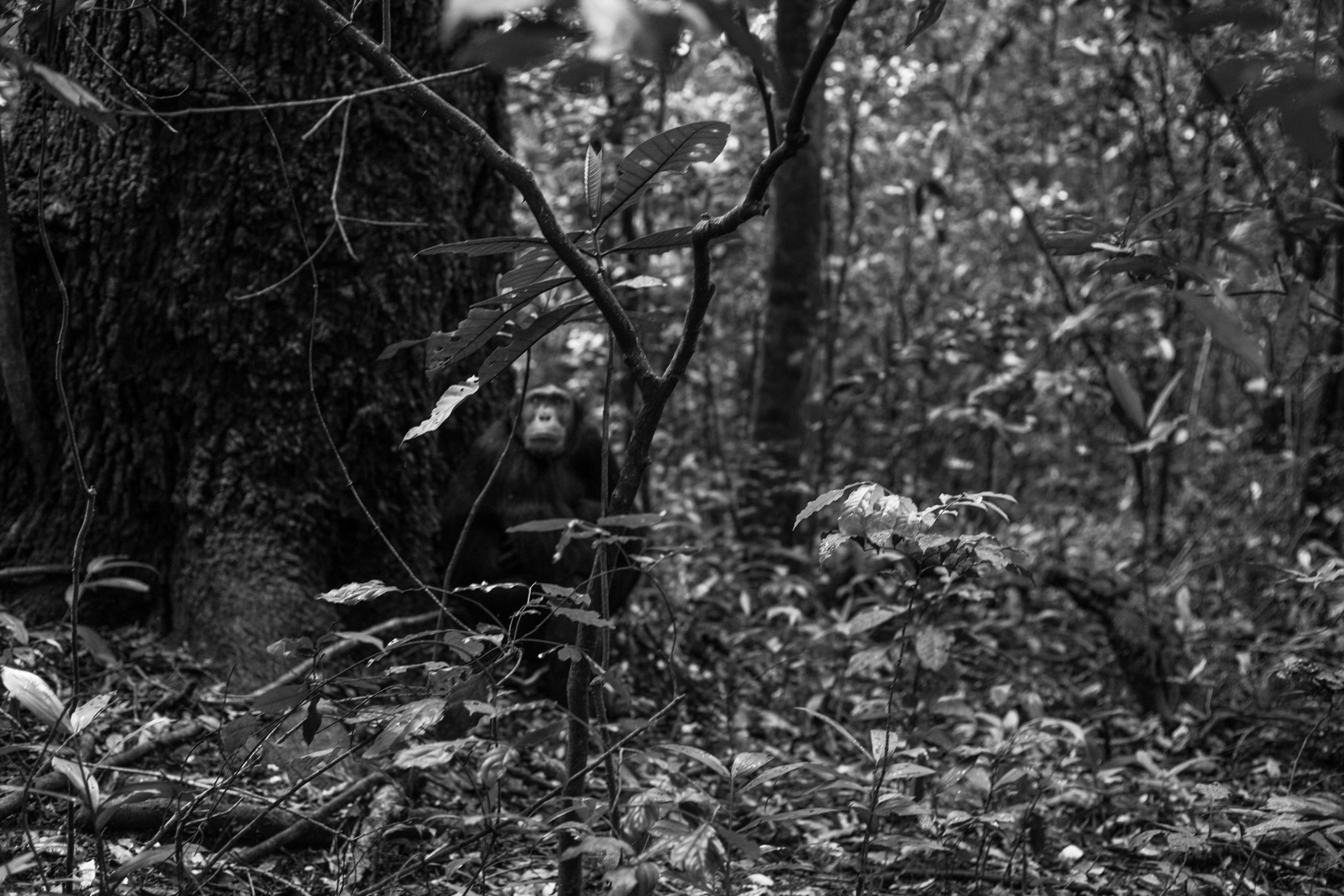 Chimp_Forest_Uganda-IMG_1315-untitled.jpg