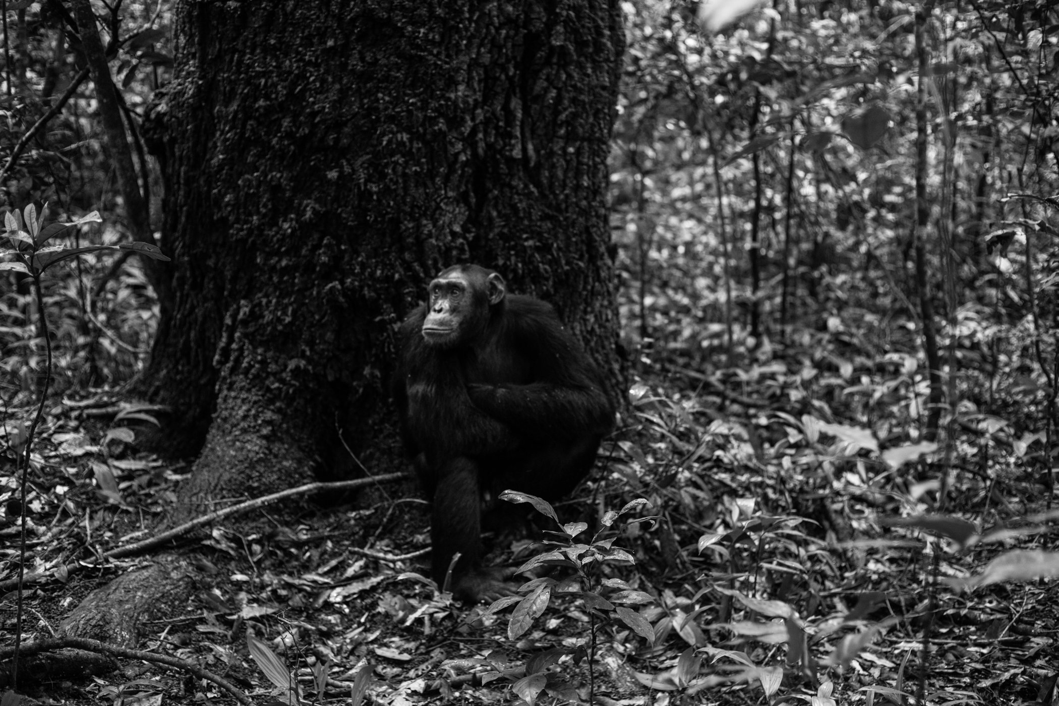 Chimp_Forest_Uganda-IMG_1318-untitled.jpg