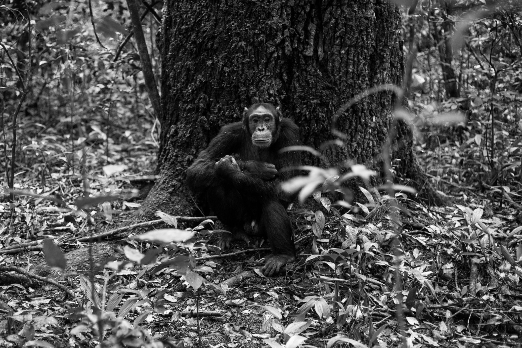 Chimp_Forest_Uganda-IMG_1326-untitled.jpg