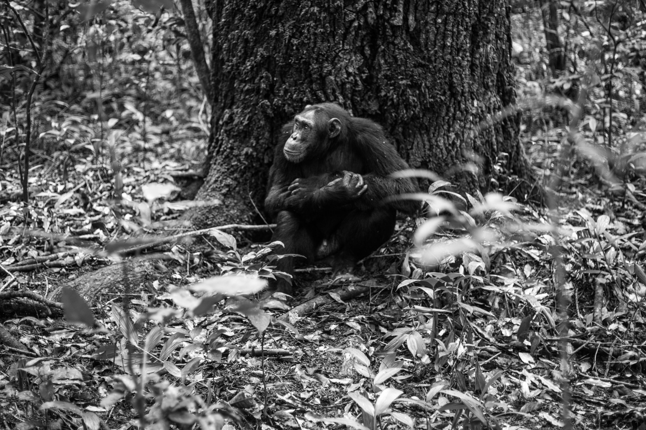 Chimp_Forest_Uganda-IMG_1322-untitled.jpg
