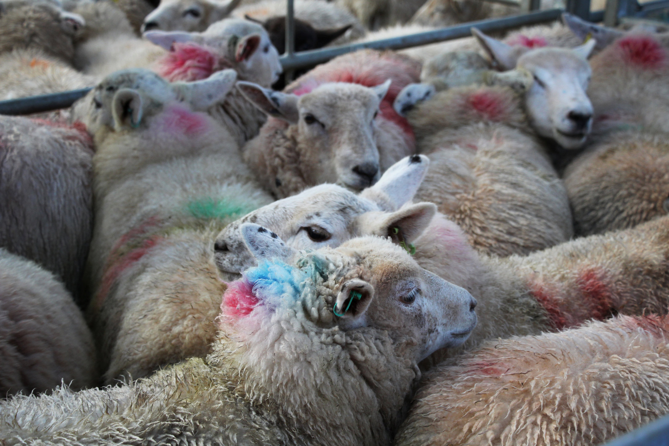 Sheep, Monmouthshire Livestock Centre