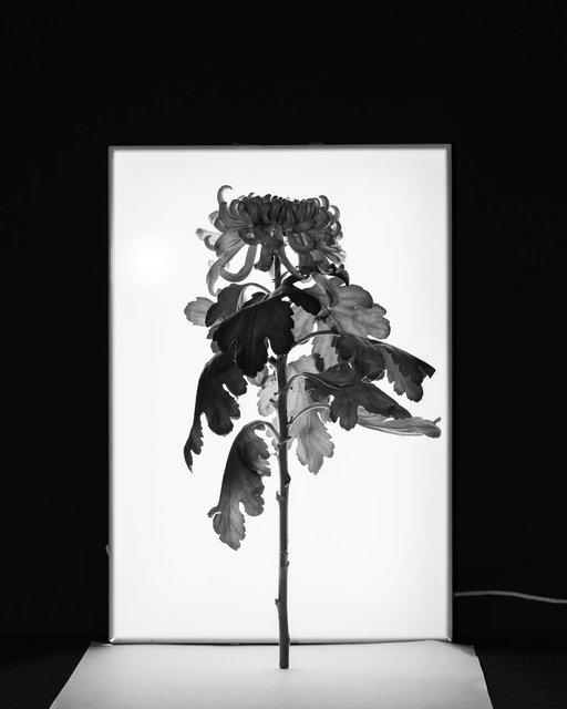 32-x40-marlieslageweg.chrysant.jpg