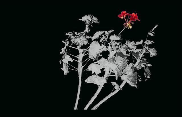 16x25.marlieslageweg.geranium.jpg