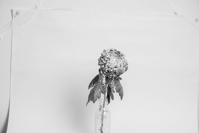 chrysant-poseren-zw-w.jpg