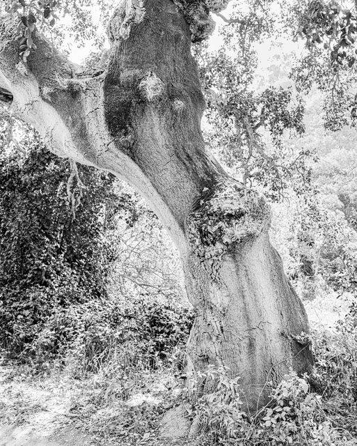 Tree 02, 2019, Archival Pigment Print, 45 x 36 cm, Ed. 3