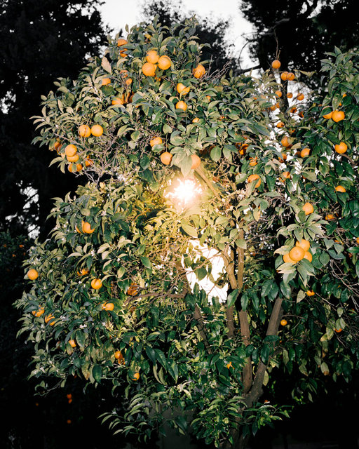 Orange Tree, 2017, Archival Pigment Print, 40 x 32 cm, Ed. 3 + 2AP