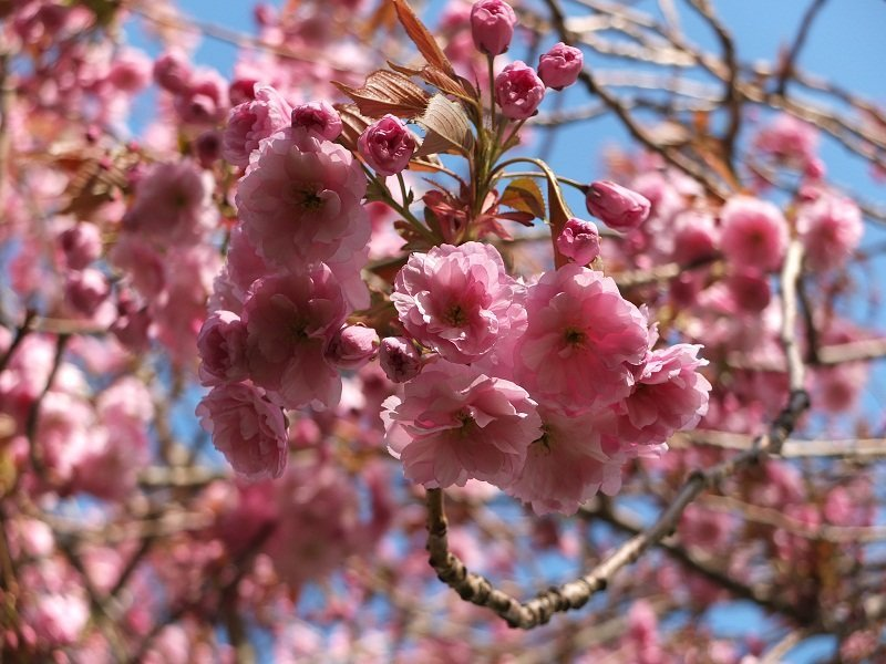 4- Pink Blossom 2015 by Alison Gracie