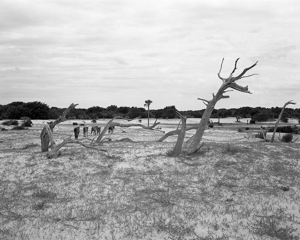 Wild Horses near Dungeness Beach