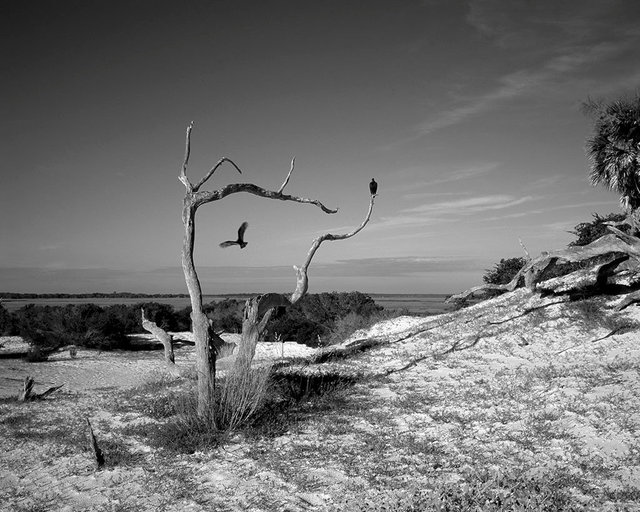 Death and Struggle: Vultures on a trail to Dungeness Beach, 2017