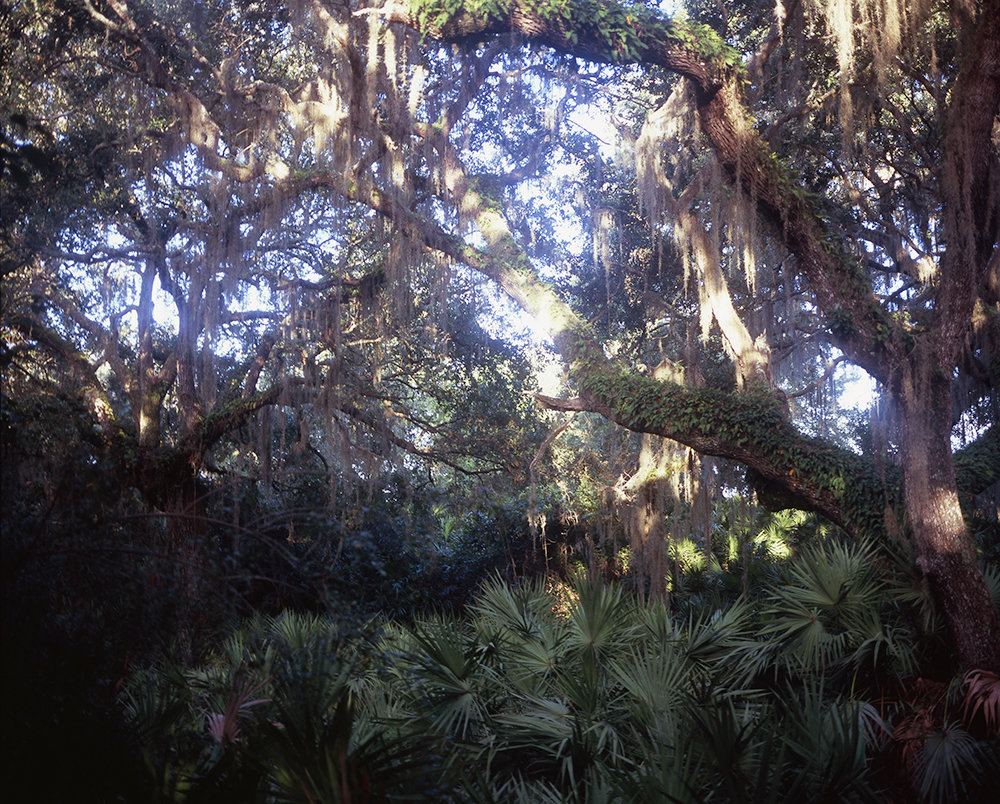 Live Oaks, Willow Pond Trail