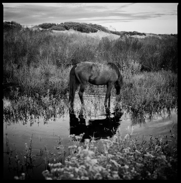 Feral Horse in Freshwater Slough, South Cut, 2018