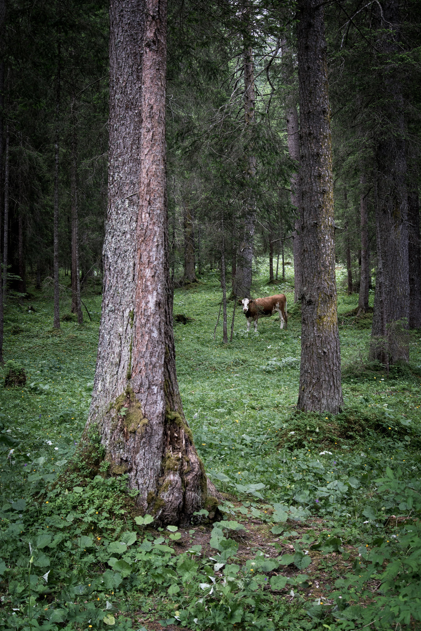 Cow in the Woods