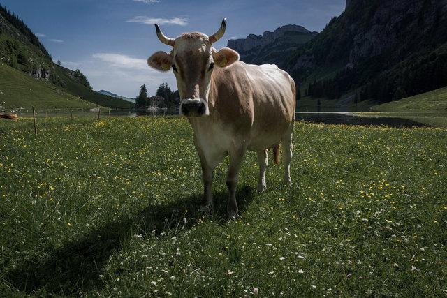 Appenzelle' Kuh, leicht fassungslos.