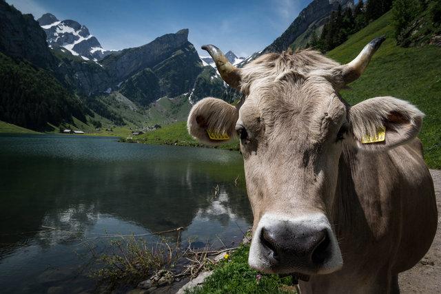 Postkartenmotiv 1 - Kuh mit See, Altmann und Säntis