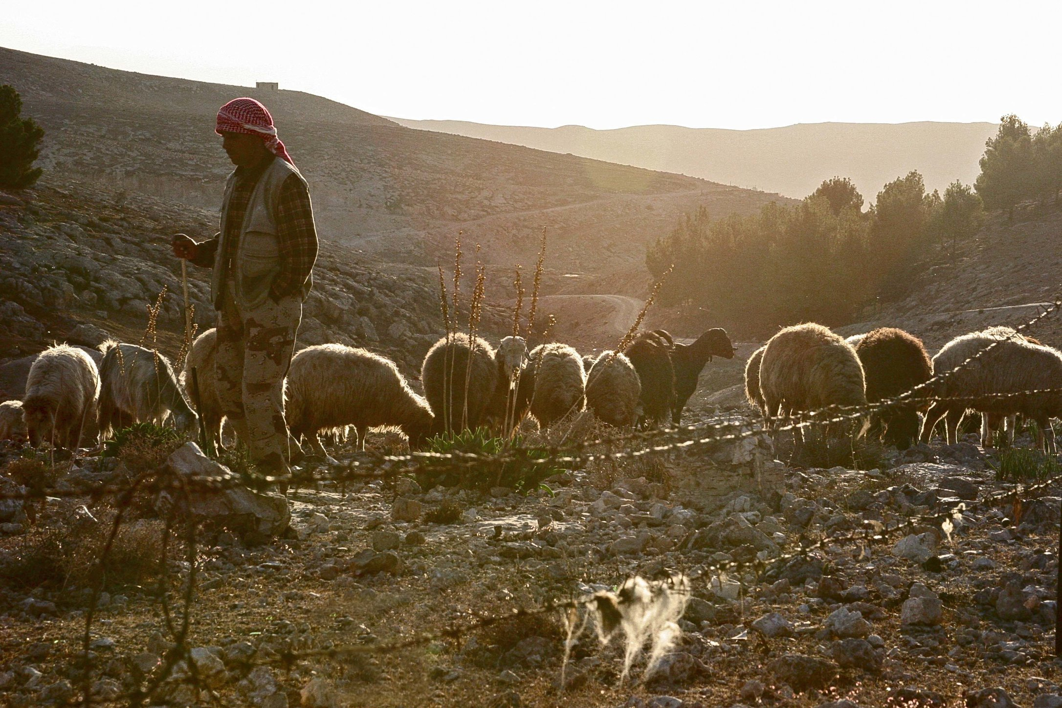 Bedouin Shepherd.jpg