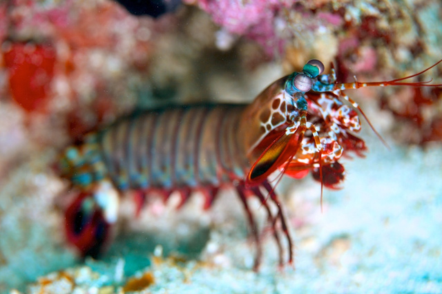 mantis shrimp at santos_2.jpg