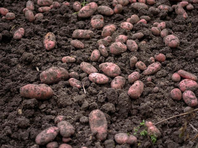 Grandad's Potatoes, 2017