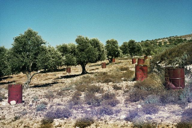Olive Trees - Viktor Van Hoof