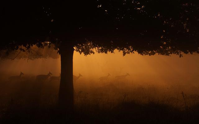 Fallow Deer and Red Deer