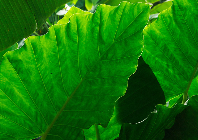 Elephant Ear (Caladium)