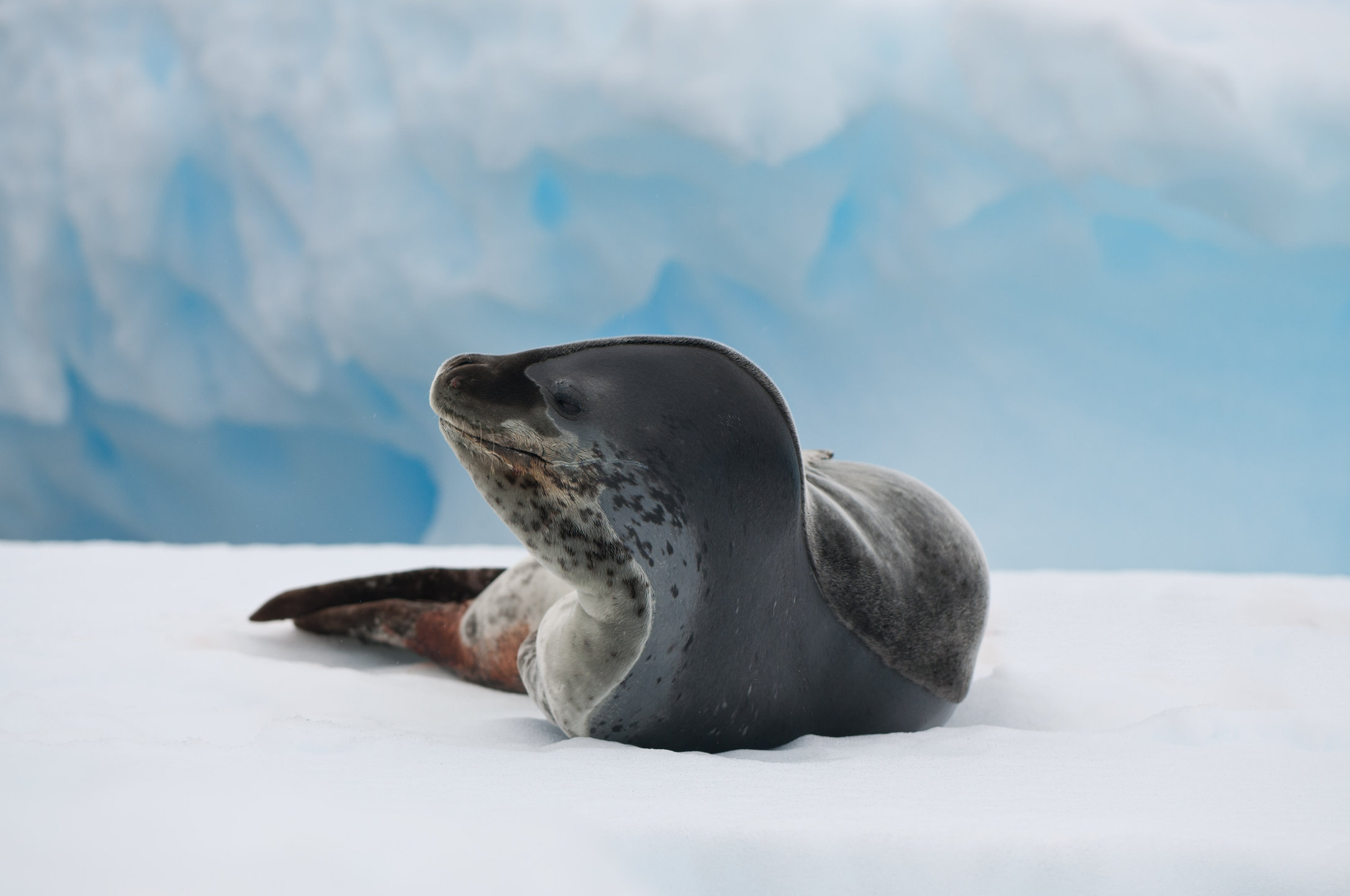 Leapord Seal-Petermann Islands, Antarctica.jpg
