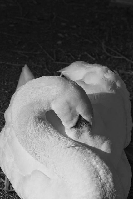 swan1.jpg