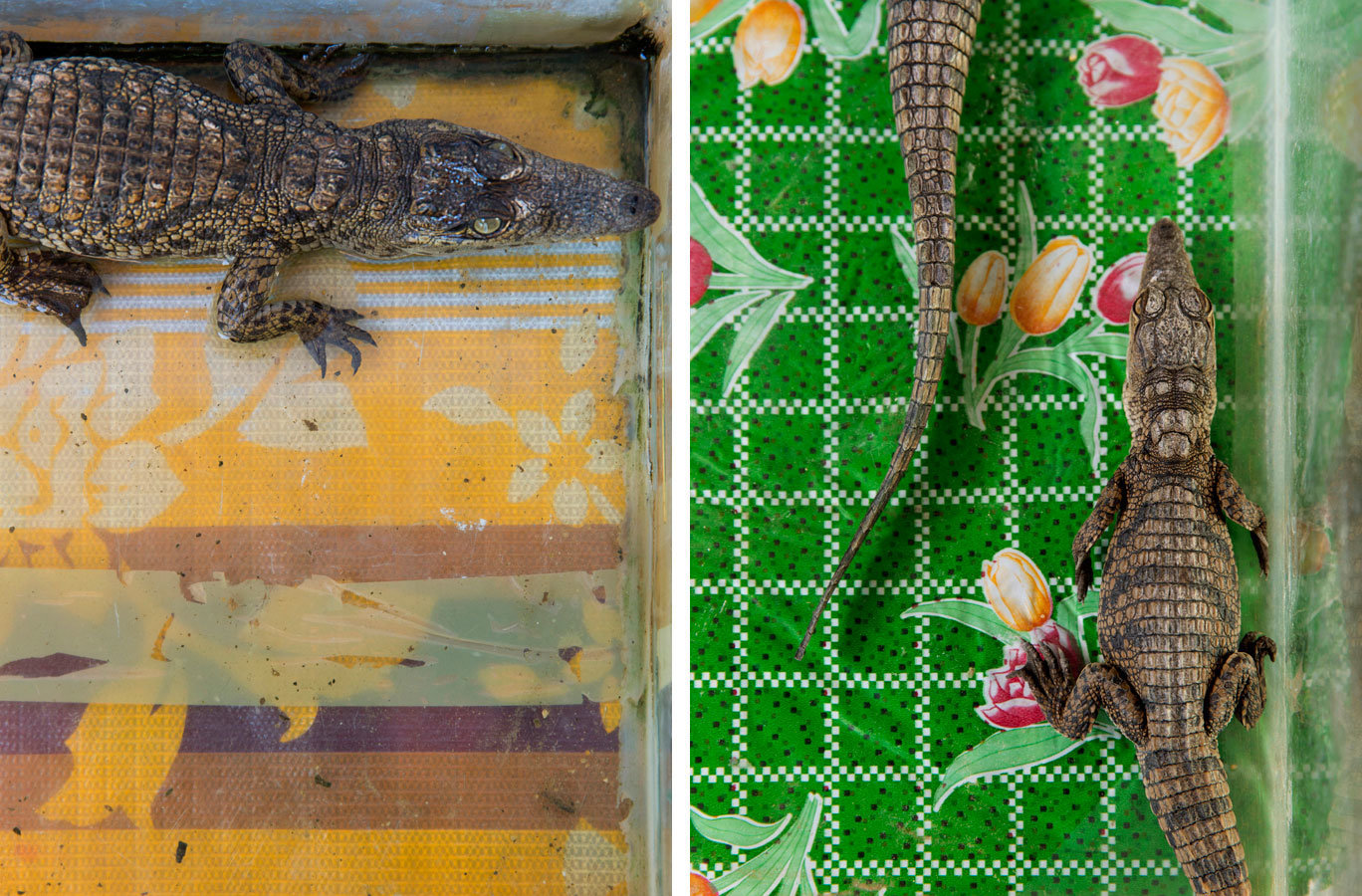 Young crocodiles in private residences - Gharb Soheil