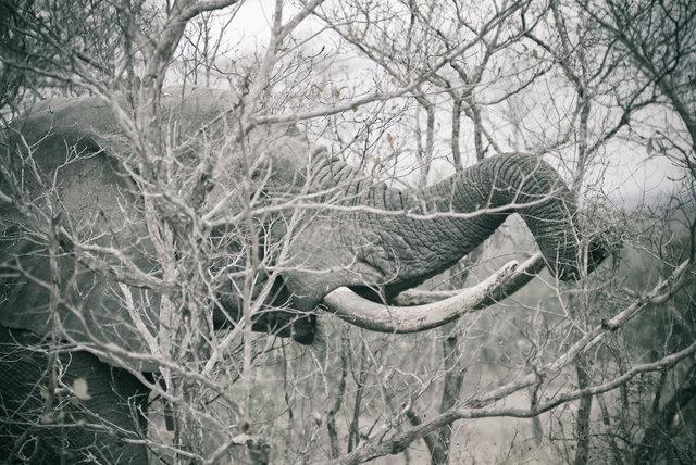 Elephants Tusks