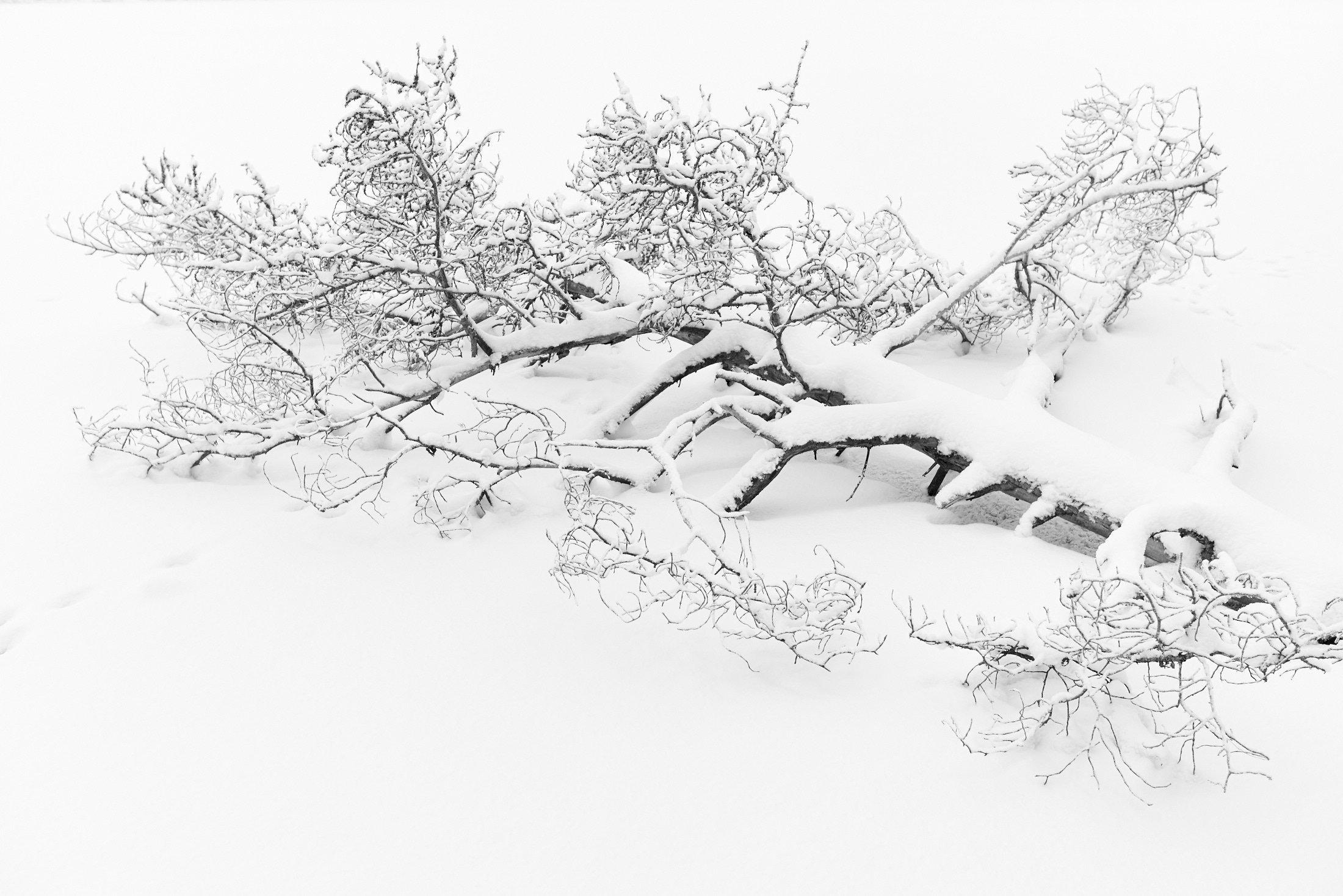Snow III - Fallen Tree