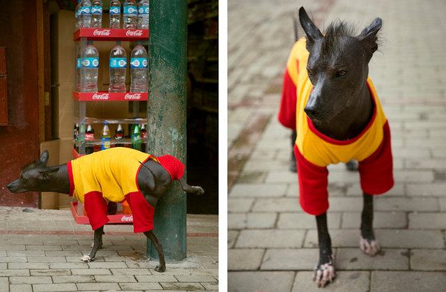 a peruvian hairless dog named milo