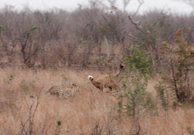 Cheetah chasing kudu