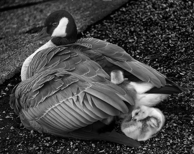 duckx46.jpg