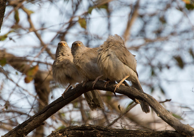 Common Babblers