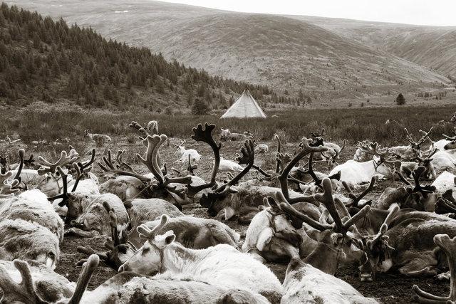 Tstaatan Reindeer I