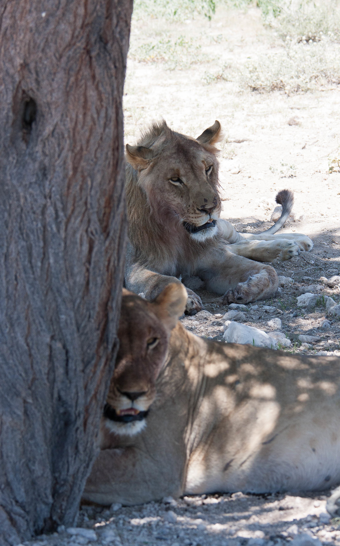 Young lion couple
