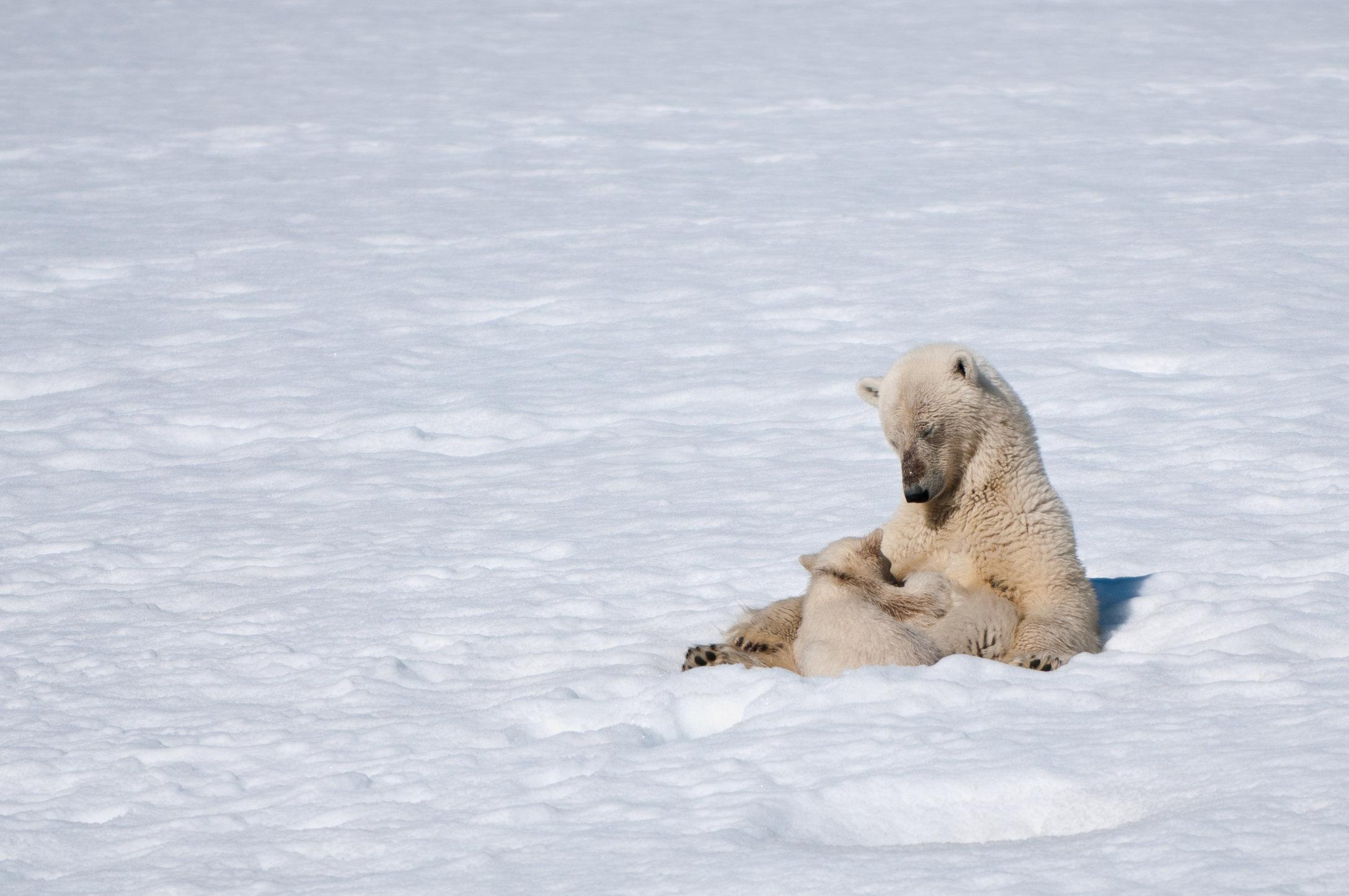 POLAR BEAR & BABY.jpg