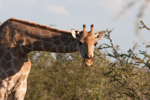 Giraf (Giraffa camelopardalis, giraffe)