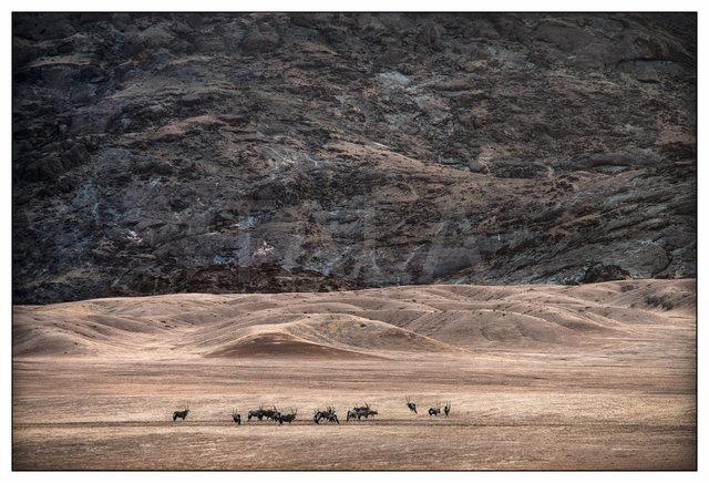Desert Oryx PvS-4713.jpg