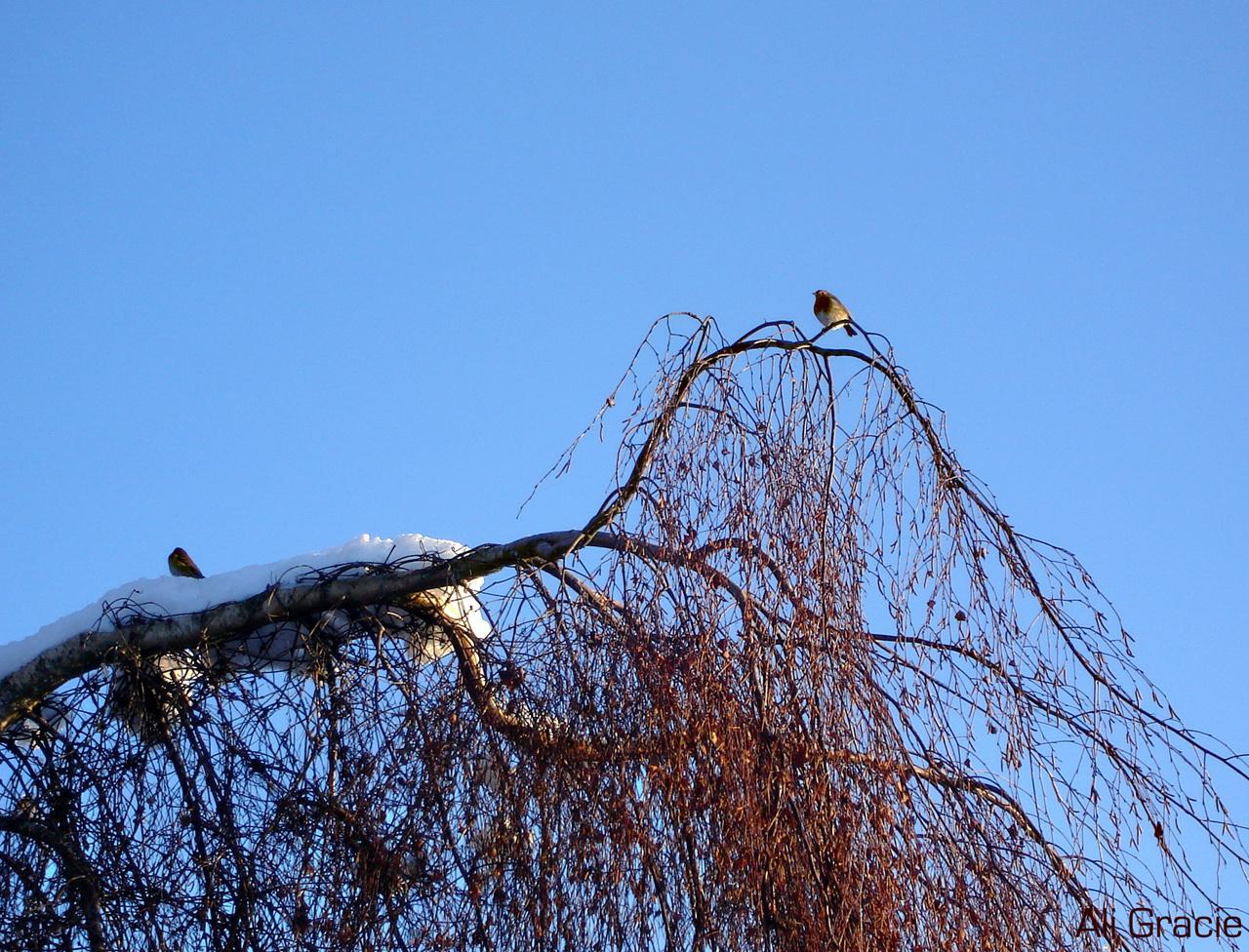 Robin in Winter by Alison Gracie