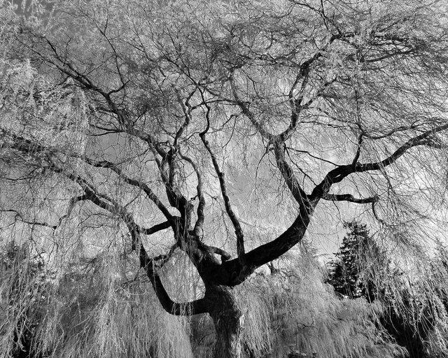 Tree-bw55.jpg