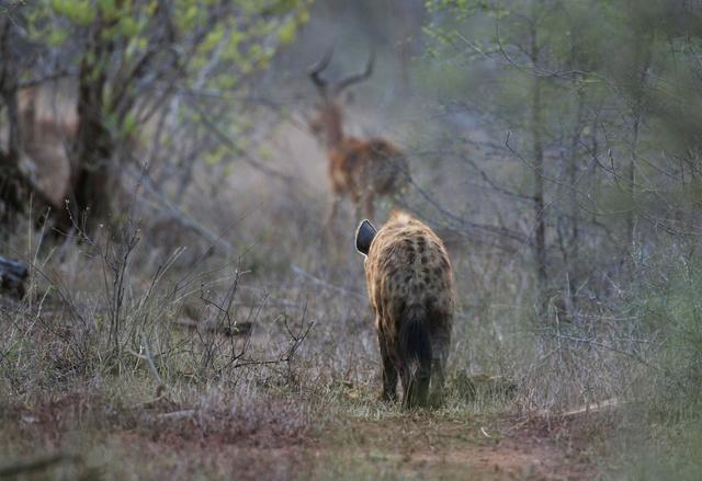 Hyena and impala