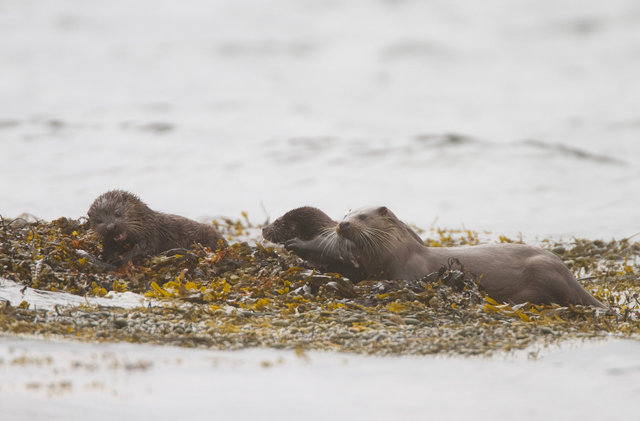 Otter mother and cubs
