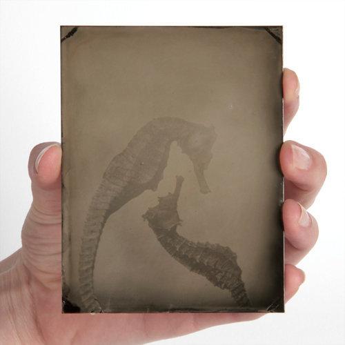 Hippocampi #6