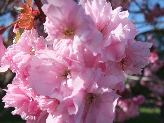 Full Bloom Pink Blossom by Alison Gracie